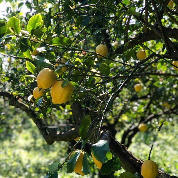 Pianta Limone zagara bianca