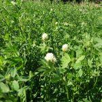 Fiore di Trifoglio Alessandrino