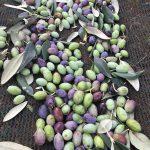 Masseria Foggelle olive