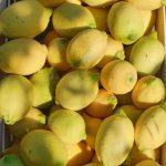 Limoni siciliani varietà Femminello galleria