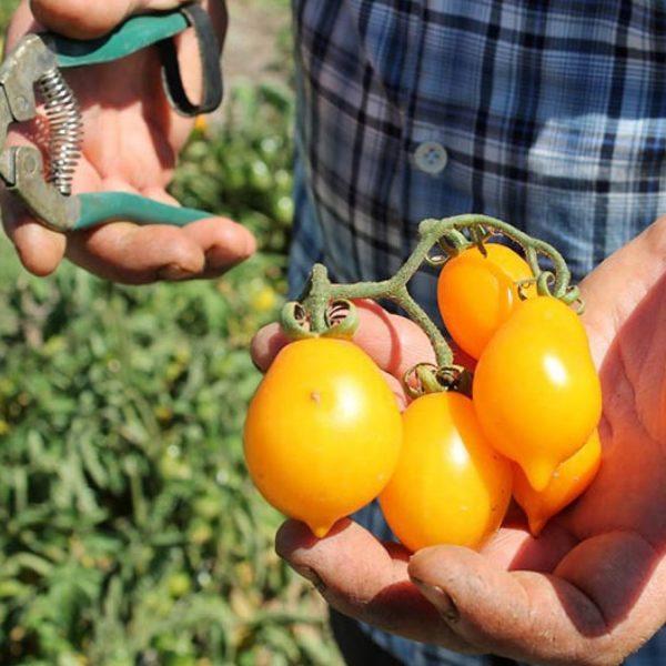 Pomodorini gialli biologici galleria