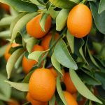 armellata Extra di Kumquat o Mandarino Cinese con pezzi di frutta 1